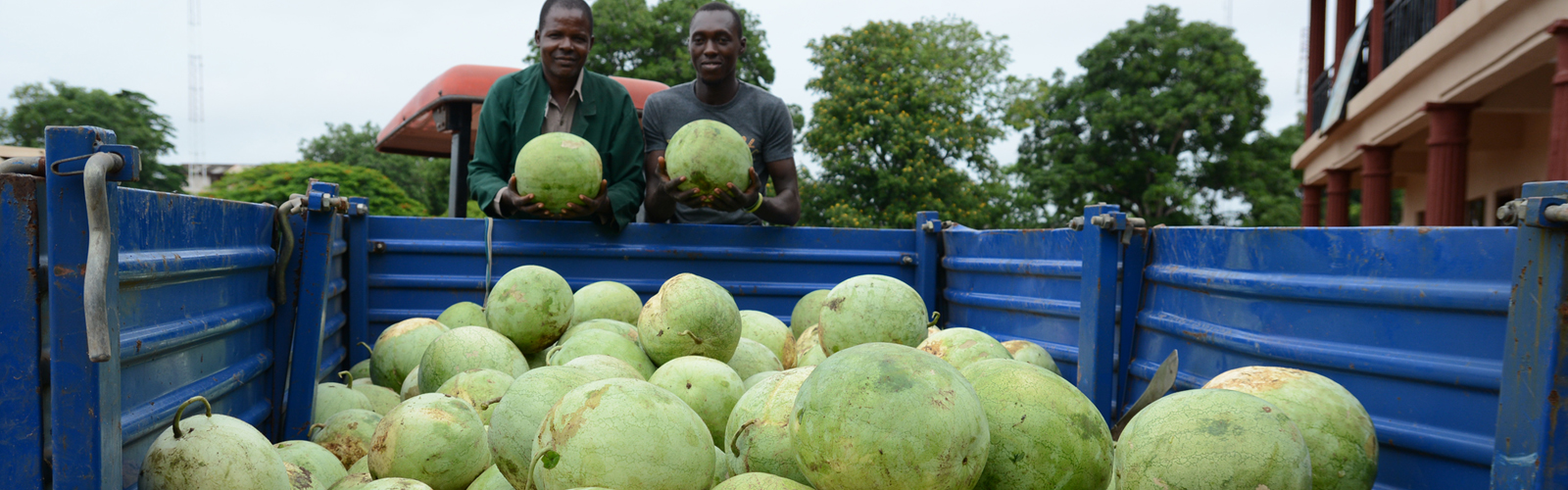 BIU FARMS HARVEST 3 TRUCK LOADS OF WATER MELON1