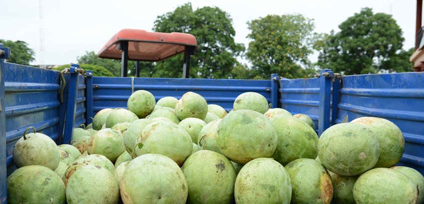 BIU FARMS HARVEST 3 TRUCK LOADS OF WATER MELON3